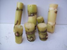 "Organic Sugar Cane Green Yellowish 24 nodes for Planting About 2 "" Each Stick"