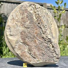 More details for partial fossil fish jurassic uk fsr876 ✔100% genuine ✔uk seller