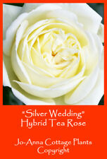 SILVER WEDDING HT ROSE - SCENTED CONTINOUS FLOWERING BARE ROOTED ** 4 FOR 3 **