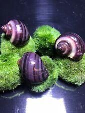 3 Purple Mystery Snails (Pomacea Bridgesii) Live Freshwater Snail - Plants
