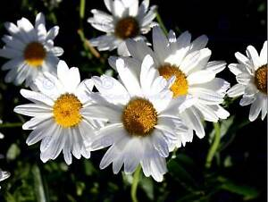 NATURE FLOWER BOTANY PHOTO DAISY PETAL POSTER ART PRINT HOME PICTURE BB1365B