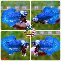 BS99 - Live Betta Fish High Quality Halfmoon Plakat HMPK Galaxy Koi - USA Seller