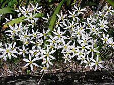 Rain Lily, Zephyranthes Candida #01 narrow petals, 2 bulbs, habranthus