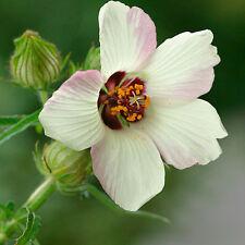 "HIBISCUS ""Simply Love"" Trionum Flower  Seed, 300 seeds"