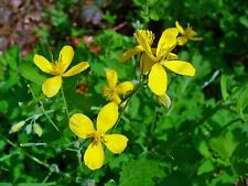 Chelidonium majus - Celidonia Mayor - 100 semillas -  Seeds - Golondrinera