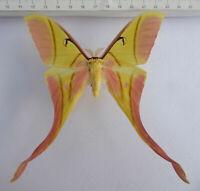 Saturniidae,  Actias rhodopneuma Männchen ex Vietnam ,       S-2/3