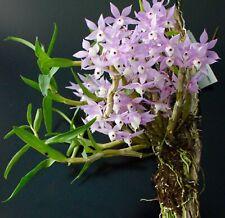 Dendrobium hercoglossum Orchid