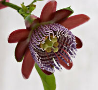 Holen Sie sich Urlaubsgefühle auf die Terrasse mit der Passiflora/Passionsfrucht