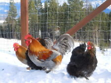 Hedemora Chicken Hatching Eggs Direct from Greenfire Farms