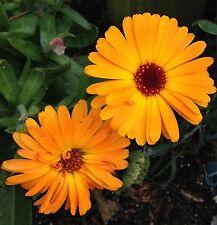 Garten Ringelblume Calendula officinalis Samen Pflanzensamen