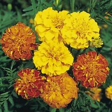 0.5g (appr.150) French marigold seeds LILIPUT MIX Mixed natural insect repellent