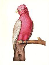 "1977 VINTAGE LAROUSSE ""GALAH"" STUNNING PINK BIRD COLOR Art Print Lithograph"