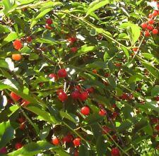 Alberi da frutto Amarene pianta da Frutta Amarene Albero