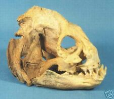Wolf Eel skull Replica