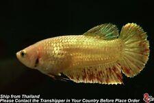 Live Betta Fish Gold Vanda Female Hmpk #C267