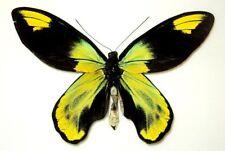 Ornithoptera victoriae isabellae (Gray, 1856) Santa Isabel, Solomon Island. Rare