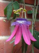 Passiflora loefgrenii Garlic Passionfruit 15 seeds