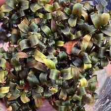 Bucephalandra Lamandau Purple Mini Tissue Culture Cup Aquarium Plants Factory®