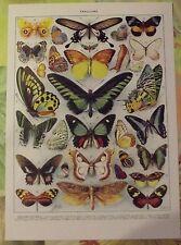 Ancienne Planche Gravure Larousse 1950 Papillons Exotiques Coon Uranie Crésus