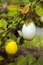Easter Egg Plant Flower Seeds - Garden Seeds - Bulk
