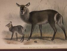 Original 1893 Print~Female Water-Buck and Young Fawn~Zoological Society~London