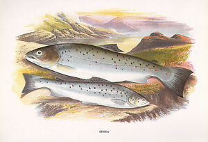 VINTAGE FACSIMILE FISH PRINT ~ SEWEN ~ A. F. LYDON
