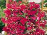 15 Begonia Seeds Illumination Rose Pelleted FLOWER SEEDS illumination