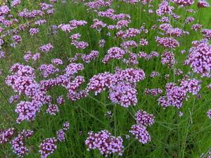 20 Seeds//Pack Hanging Verbena Seed Purple Verbena Herb Seed Original Pack G003