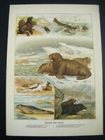 1889 Antique Original Victorian Chromolithograph Print ~ WALRUS & SEALS