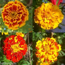 FRENCH MARIGOLD QUEEN SOPHIA YELLOW RED BICOLOR 200+ SEEDS FREE FAST SHIPPING