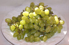 100+ FRESH Very Sweet and Delicious White Grape long variety seeds