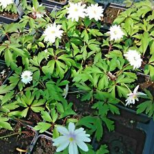 Woodland Anemone Nemorosa  Any 2 For £8.99  9cm pot perennial plant