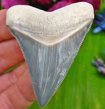 Very Rare Bone Valley Chubutensis Fossil Shark Tooth Florida teeth not Megalodon