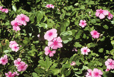 Madagascar Periwinkle - CATHARANTHUS ROSEUS - 20 Seeds - Flowers
