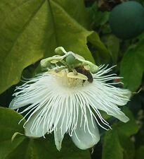 Passiflora eichleriana | Passionflower | 20_Seeds FREE SHIPPING