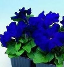 Petunia - Limbo Blue - 50 Seeds