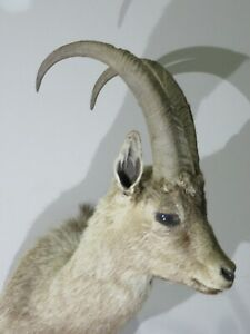 Cross Ibex Shoulder Mount.  Great taxidermy exotic item!