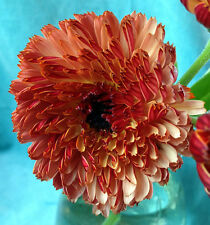 Pot Marigold Seeds - SUNNY GIRL - Calendula - Medicinal Benefits - 25 Seeds
