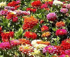 Dahlia Variabilis Unwin Bedding Mix- 100 seeds