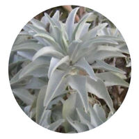 200Pcs California White Sage Seeds Sacred Salvia Apiana Ceremonial Aromatic FZ