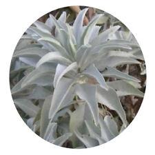 200Pcs California White Sage Seeds Sacred Salvia Apiana Ceremonial Aromatics FO