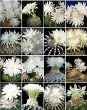 Discocactus variety MIX semi exotic perfume fragance cacti cactus seed 100 SEEDS