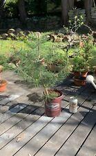 pre Bonsai Japanese Black Pine Tree (Pinus Thunbergii)