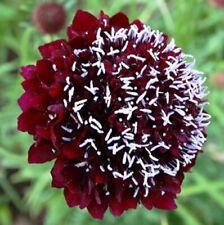 Seeds Pincushion Flower Scabiosa Purple&White Annual Outdoor Garden Cut Ukraine