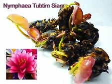 Nymphaea Tubtim Siam Tropical Water Lily Tuber Mature Active Root & 1Fertilizer
