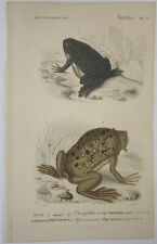 """New listing Paul Lewis Oudart """"Pl. 17 Frog & South American Toad"""" 1849 Amphibian Print"""