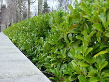 10 Cherry Laurel Fast Growing Evergreen Hedging Plants 25-30cm in Pots