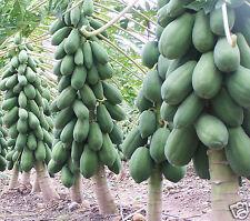 Papaya Indian Beauty Produce Heavily Fruit Seeds 50 Seeds