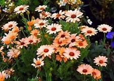 F0005 African Daisy Mix x50 seeds Dimorphotheca Sinuata
