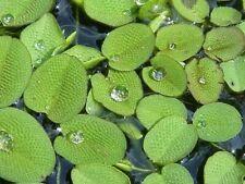 🍃 SALVINIA NATANS (Salviniaceae) - Plante flottante aquarium
